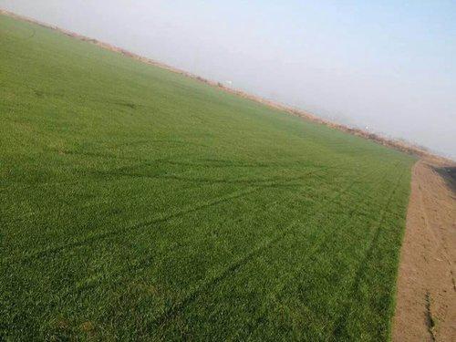 河南混播黑麦草