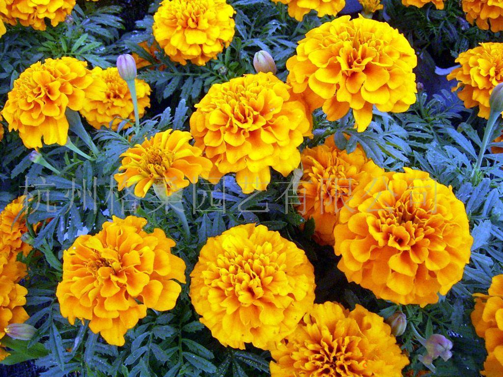 孔雀草杰妮,珍妮,橙色种子