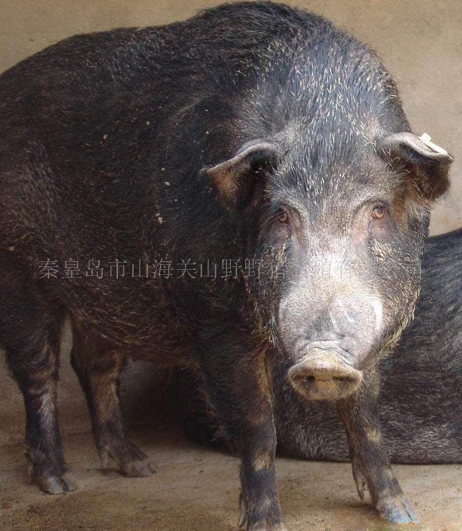 很可爱的猪