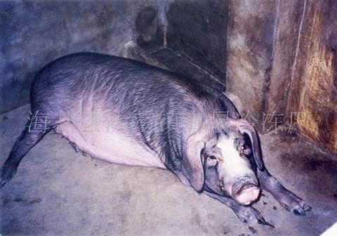 黑猪种猪-海商网,畜产和动物副产品产品库
