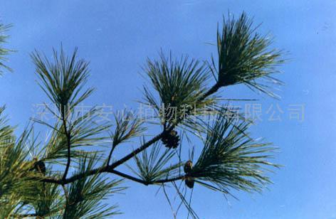 供应松树皮提取物(图)