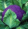 睿优紫椰,商品性好的优*紫椰种子
