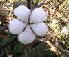 抗蟲棉新品系-GK—10懶漢棉