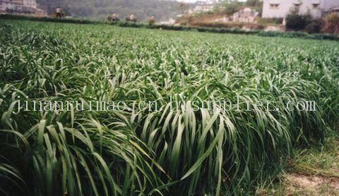 冬牧70黑麦草--牧草种子、优*的、杂交的、产量高的、销路好的牧草种子