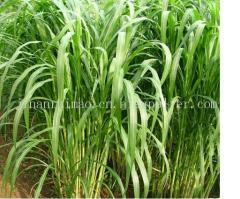 皇竹草--牧草種子、優*的、雜交的、產量高的、銷路好的牧草種子
