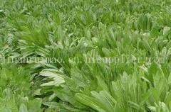 歐洲菊苣--牧草種子、優*的、雜交的、產量高的、銷路好的牧草種子