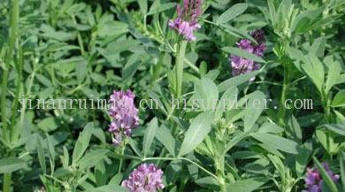 紫花苜蓿--牧草種子、優*的、雜交的、產量高的、銷路好的牧草種子
