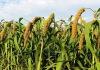 超级吨谷*--优质谷种,产量高,米香,抗病、抗寒,哪里买,济南睿袤农业科技开发有限公司