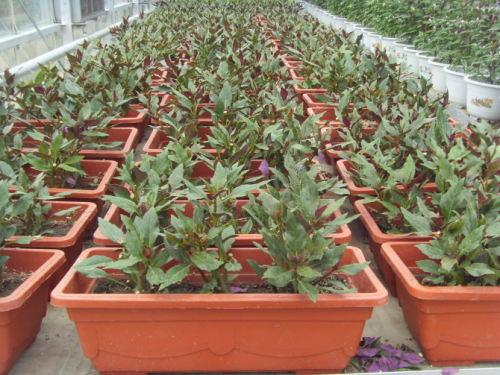 盆栽紫背天葵(血皮菜)管理方法