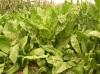 菊苣牧草怎么种植