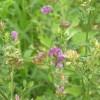 紫花苜蓿种子批发价格