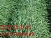 黑麦草价格 多年生黑麦草价格 山东国豪牧草种子公司