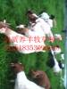 泸州哪裏有養羊牧草種子賣