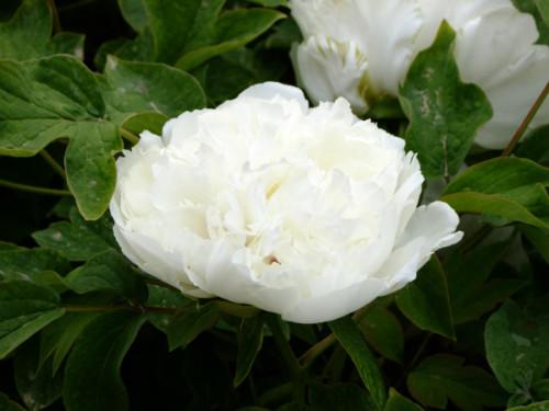 白牡丹苗-海商网,花草树木产品库