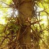 皂角樹種植基地