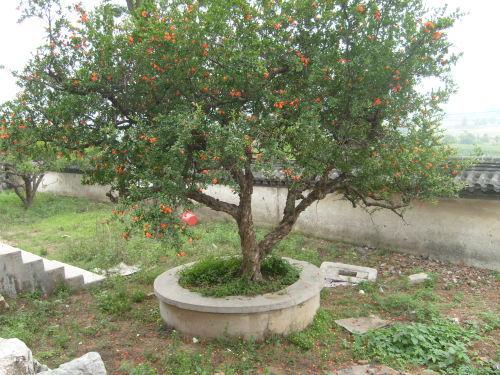 出售石榴树 出售石榴树     本基地供应石榴树苗;石榴园林绿化树