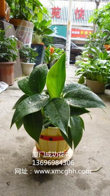 厦门室外盆栽植物租摆