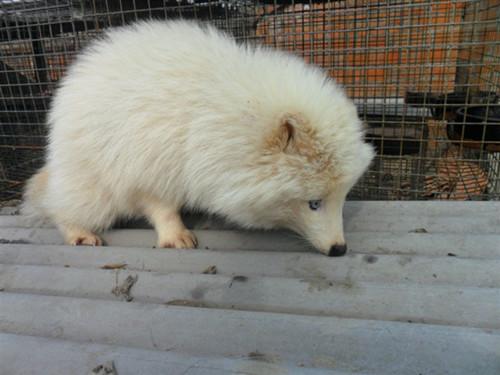 白貂是一种非常珍贵的毛皮动物