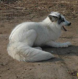 青岛狐狸养殖价格-海商网,畜禽及养殖动物产品库