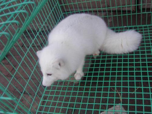 青岛狐狸养殖公司-海商网,畜禽及养殖动物产品库