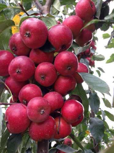 花草木栽培- 红巴伦海棠 种植 海商网,花草树木产品库