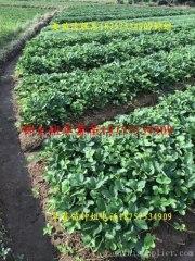 浙江建德草莓苗