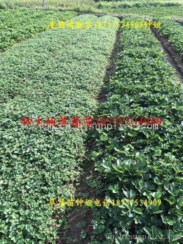 浙江哪里有白草莓苗-海商网