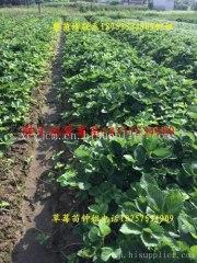 浙江草莓苗种植厂家