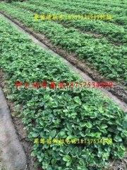 杭州草莓基地