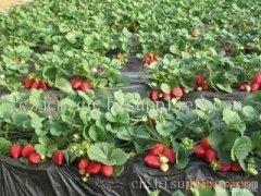 草莓苗种植基地