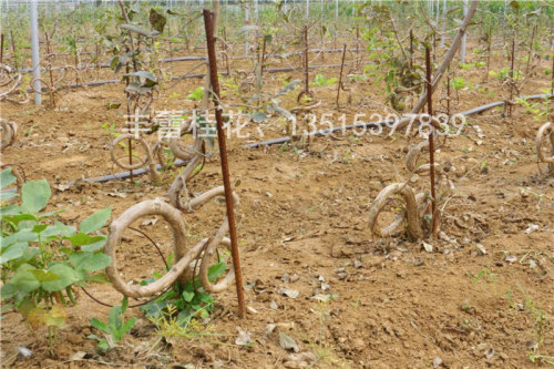 流苏树批发  产地: 山东省 临沂市 产品摘要: 流苏树盆景整体的造型