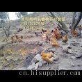 贵阳养鸡场