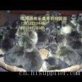贵州铁脚麻鸡定点订购厂家