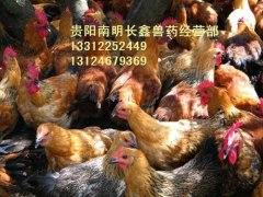 贵州土鸡苗批发
