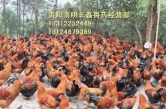 贵阳土鸡苗养殖场