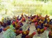 高温天气如何增强土鸡的食欲