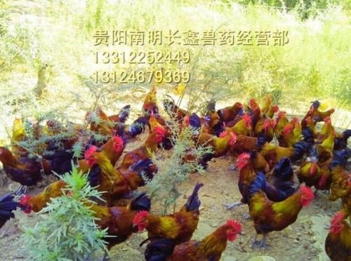 养鸡的七大注意事项有哪些?