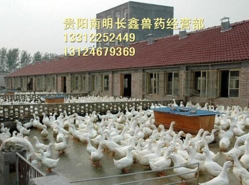 贵阳鸡苗养殖教您家禽羽毛异常的防治