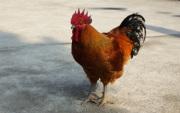 贵州鸡苗批发简述土鸡养殖的技术要点