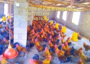 贵阳山鸡苗养殖场如何做好鸡群免疫接种