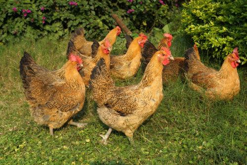 为您介绍土鸡的防治措施