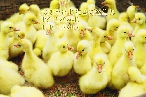 贵阳鸡苗养殖场介绍家禽免疫注意事项