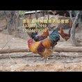 贵州土鸡苗价格