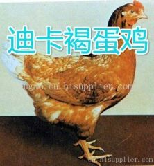 贵阳蛋鸡批发