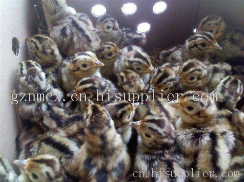 贵州山鸡苗供应