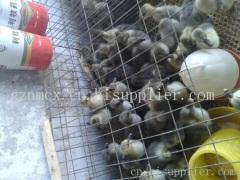 贵州鸭苗养殖基地