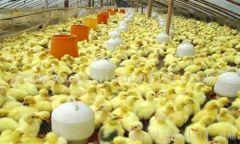 贵阳土鸡养殖