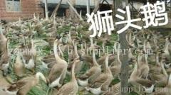 贵阳鹅苗养殖场批发