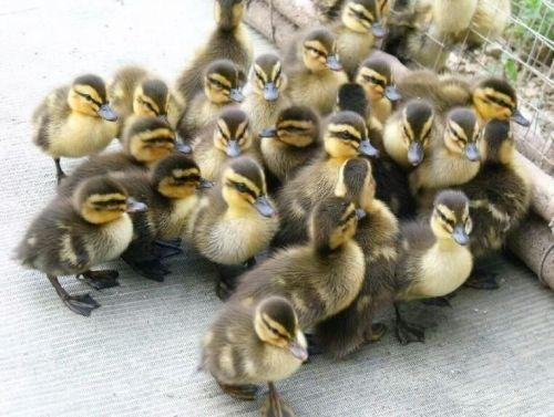 贵州出售鸭苗养殖厂家