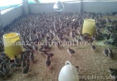 贵阳鸡苗养殖场